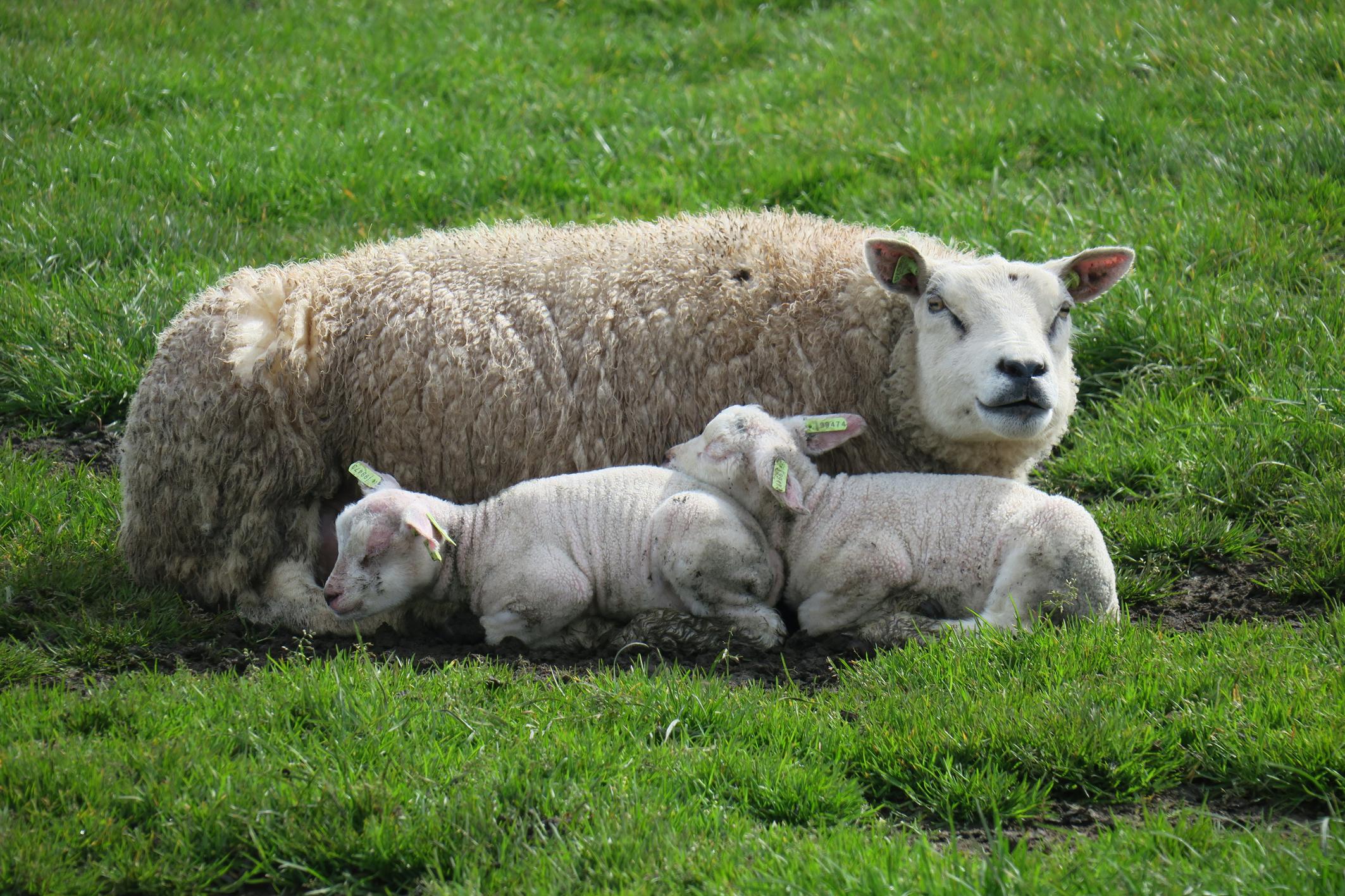 Lammetjes bij moeder in de wei VVV Texel fotograaf Marianne Swinkels
