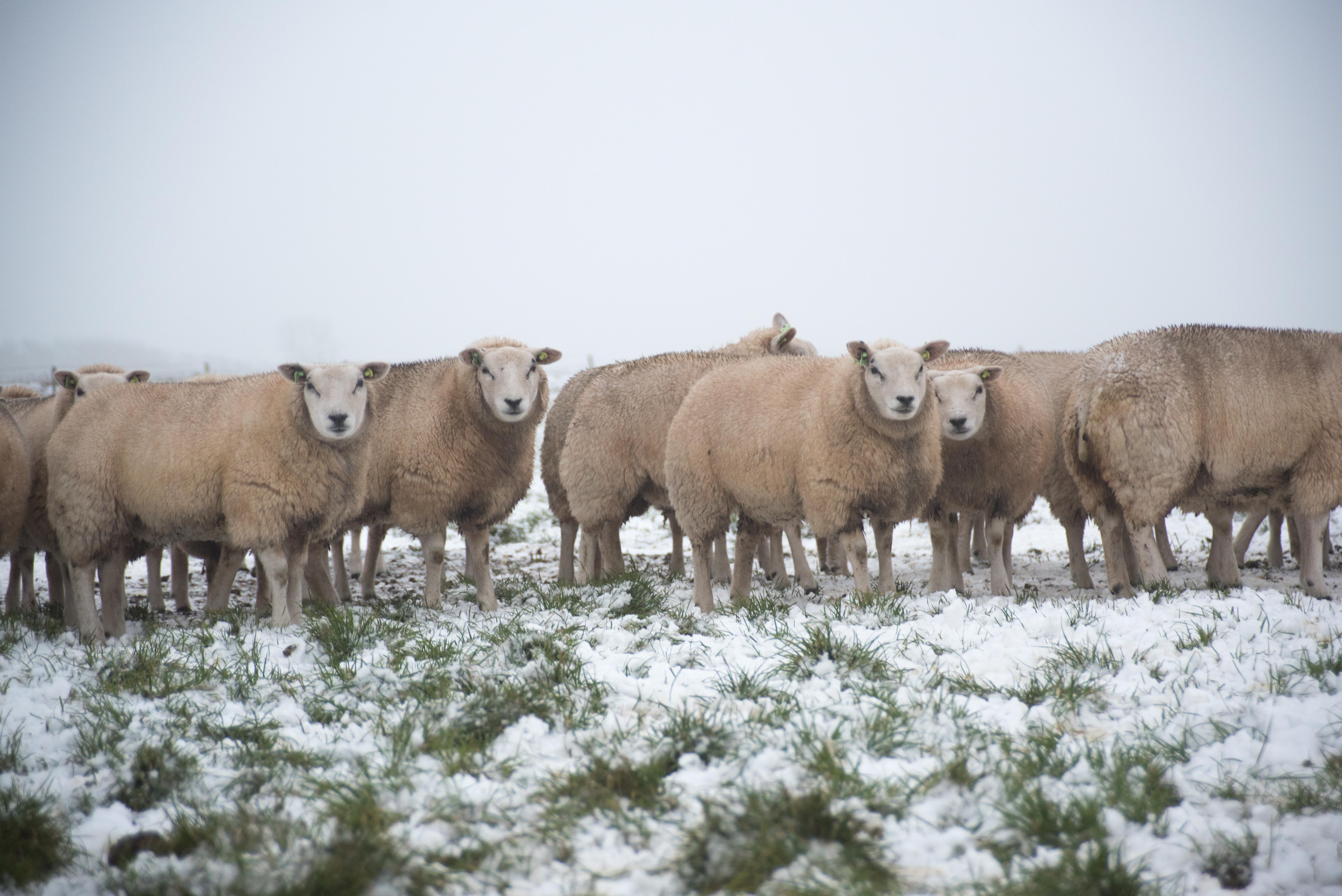 Schapen in de sneeuw op de Hoge Berg VVV Texel