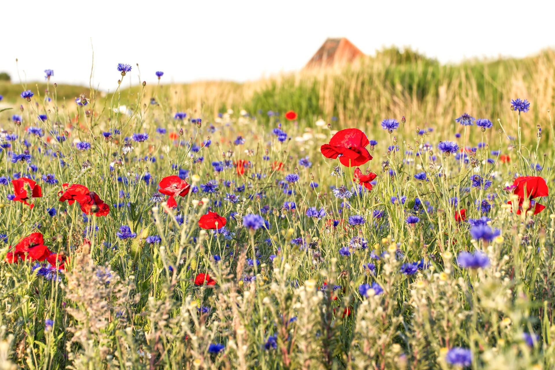 Wilde bloemen in het weiland VVV Texel fotograaf Justin Sinner