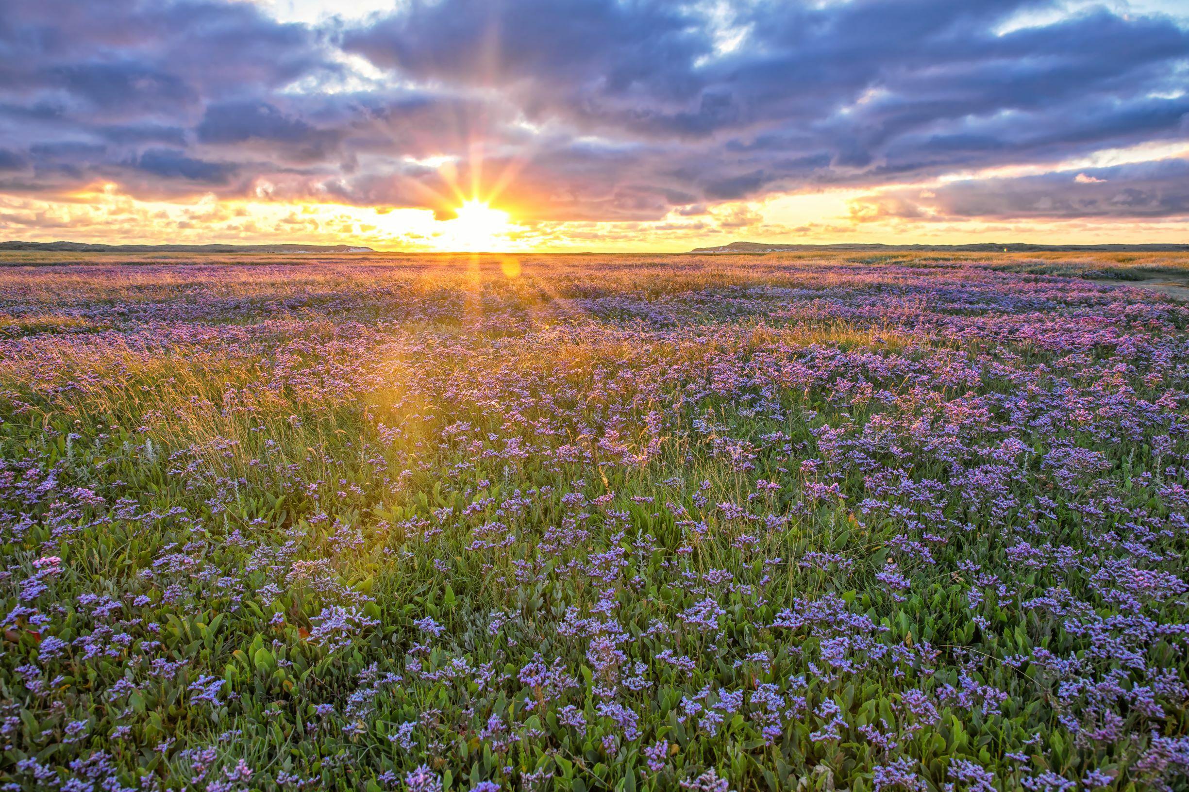 Lamsoor in De Slufter met zonsondergang VVV Texel fotograaf Justin Sinner